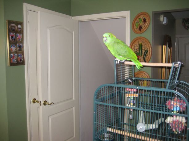 Brin-Brin, the yellow-naped Amazon parrot.