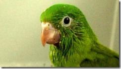 green parrots new