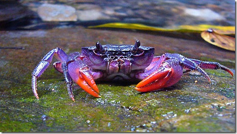 590x333_04241828_purple-crab