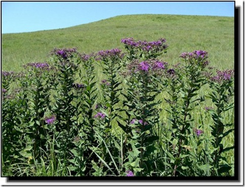 WIronweed