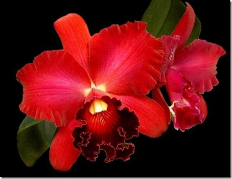 Potinara_orchid_image_Pot_Miyas_Radiance_Red_Beauty
