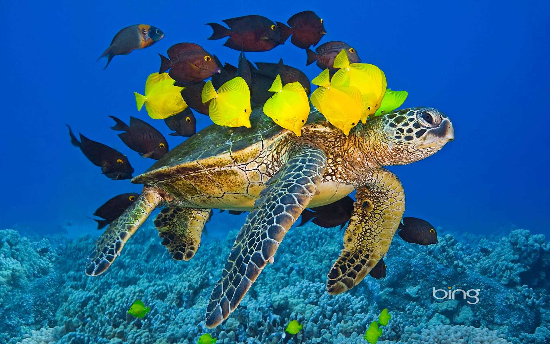 May 23 world turtle day lucky penny day national taffy for Hawaii reef fish
